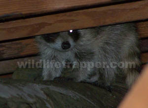 how to get rid of raccoons in garage attic