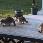 raccoons-mooching-dogfood