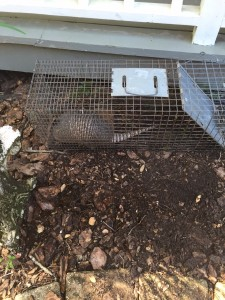 Armadillo in Trap