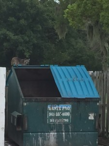Raccoon in Commerical Dumpster