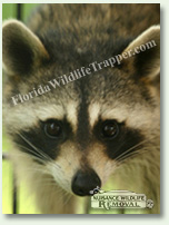 Nuisance Wildlife Removal can take care of nuisance raccoons.