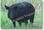 Nuisance Wildlife Removal Wildlife Index - Wild Hogs