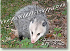 Nuisance Wildlife Removal Wildlife Index - Opossums