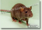 Nuisance Wildlife Removal Wildlife Index - Rats