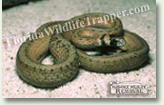 Nuisance Wildlife Removal Wildlife Index - Snakes